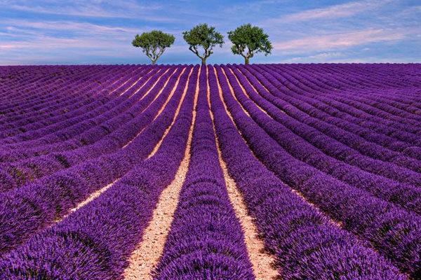 Campos de lavanda, Provença, França
