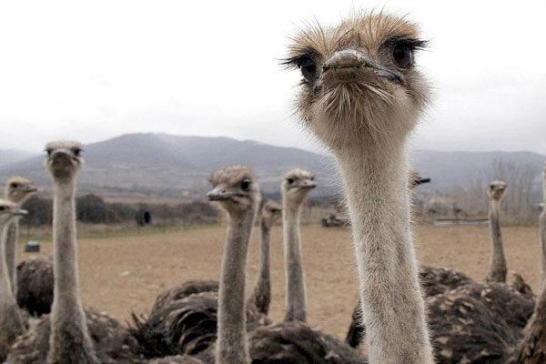 O verdadeiro comportamento dos avestruzes