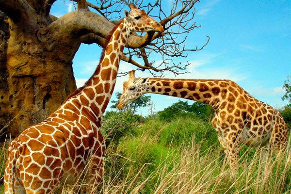 As girafas limpam os ouvidos com a língua