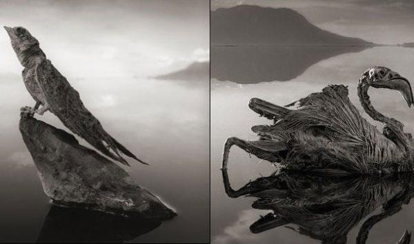 O lago que transforma animais em estátuas