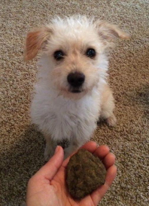 Existem cachorros tradicionais que preferem dar pedras