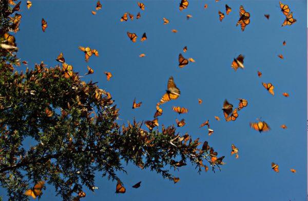 Migração borboletas monarca