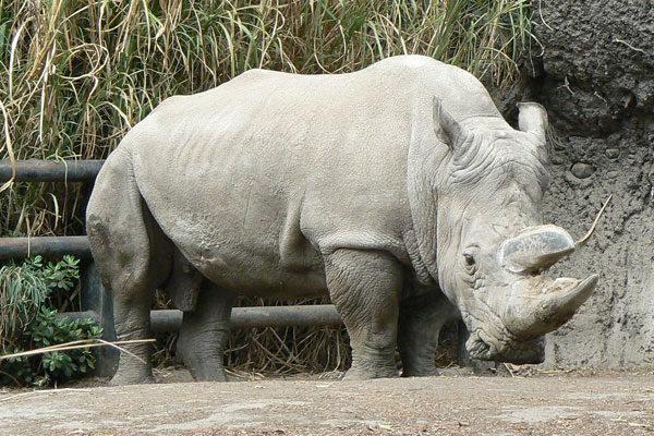 Rinoceronte branco sul-africano