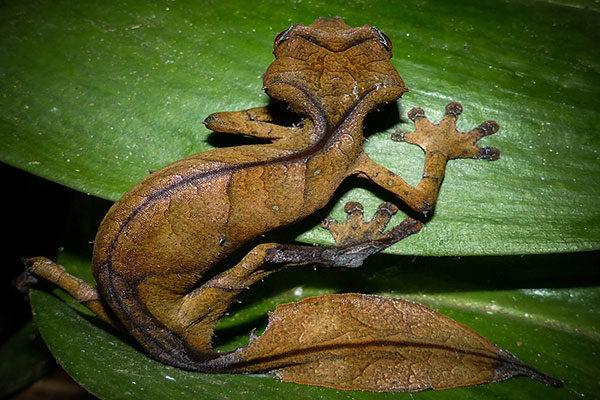 Gecko de cauda de folhas