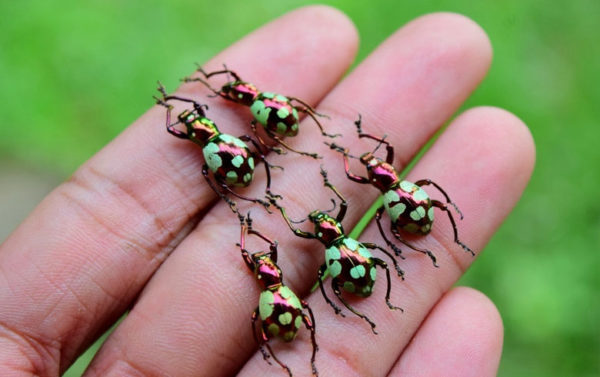 Besouro Curculionidae das Filipinas