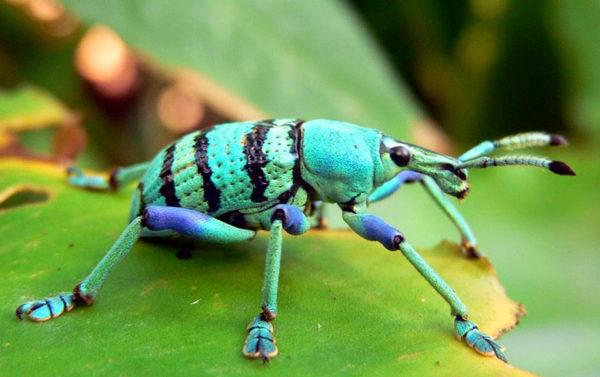 Besouro de cana da Nova Guiné