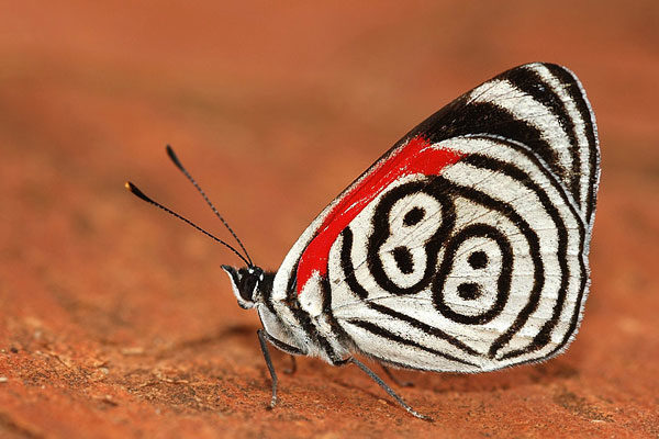 Borboleta 88