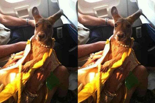 Um canguru com muito estilo