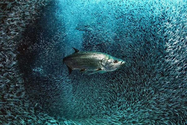 Shad em uma nuvem de peixes