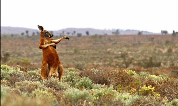 Canguru Dançarino