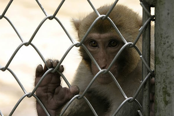 Macaco criminoso