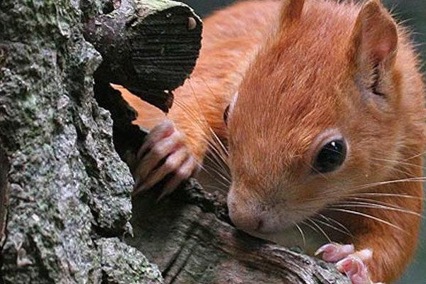 Esquilo espião