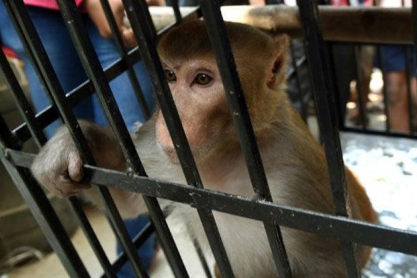 Prisão de macacos