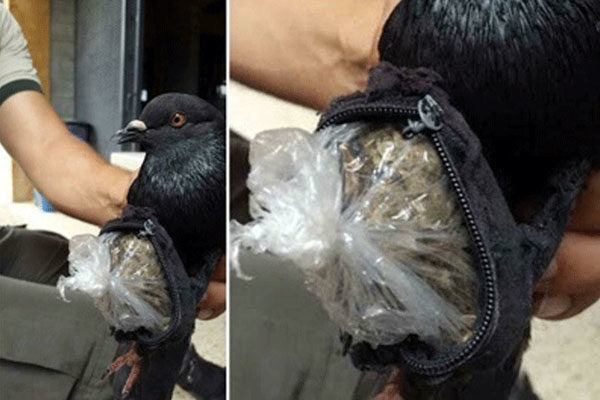 Um pombo traficante