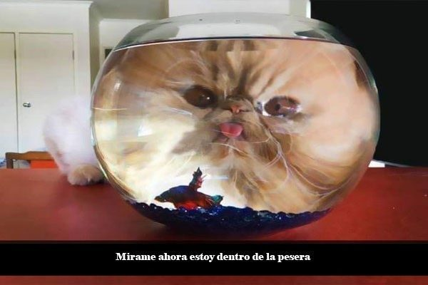 Peixe gato