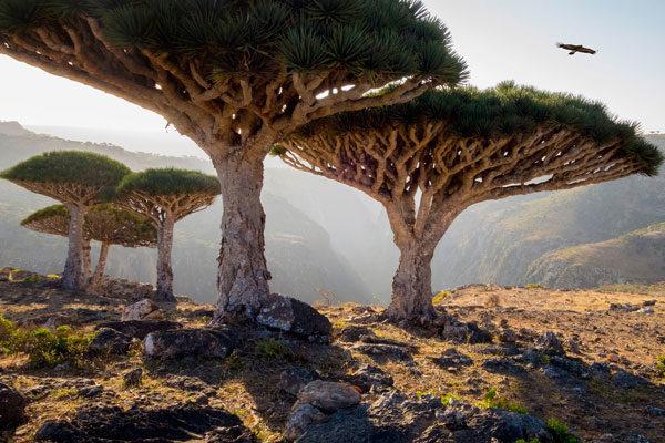 Árvores de sangue de dragão, Socotra, Iêmen