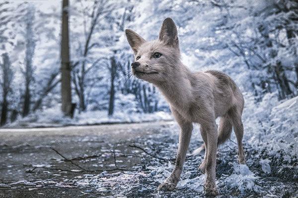As raposas curiosas